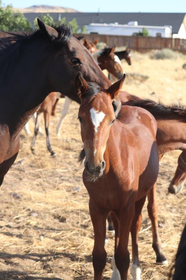 Banda del potro americano salvaje de los caballos del mustango con el resplandor del corazón imagen de archivo libre de regalías