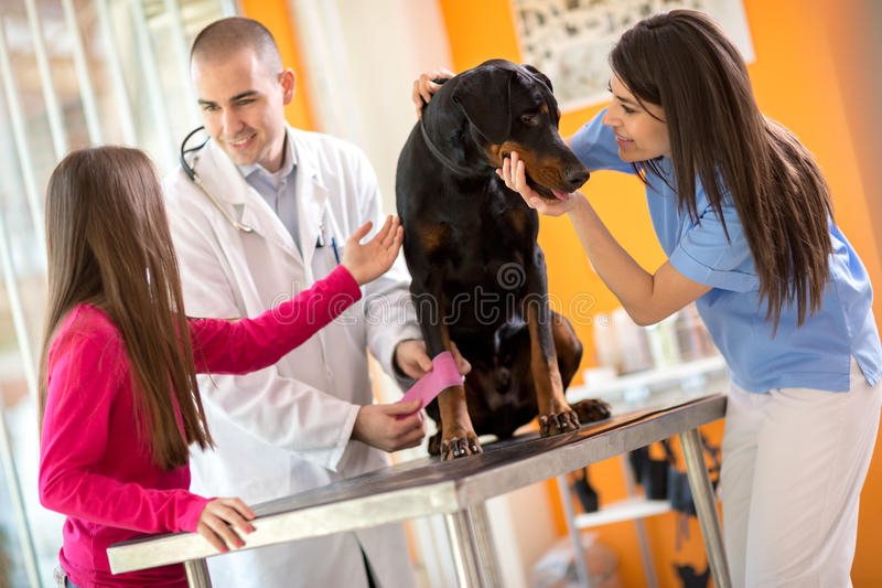 Bandaging leg of Great Done dog and comforting him in vet infirm. Veterinarians bandaging leg of injured Great Done dog and comforting him in vet infirmary stock image