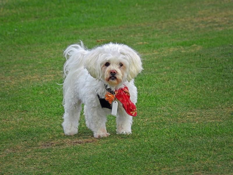 Bandana vestindo bonito do cão de cachorrinho foto de stock
