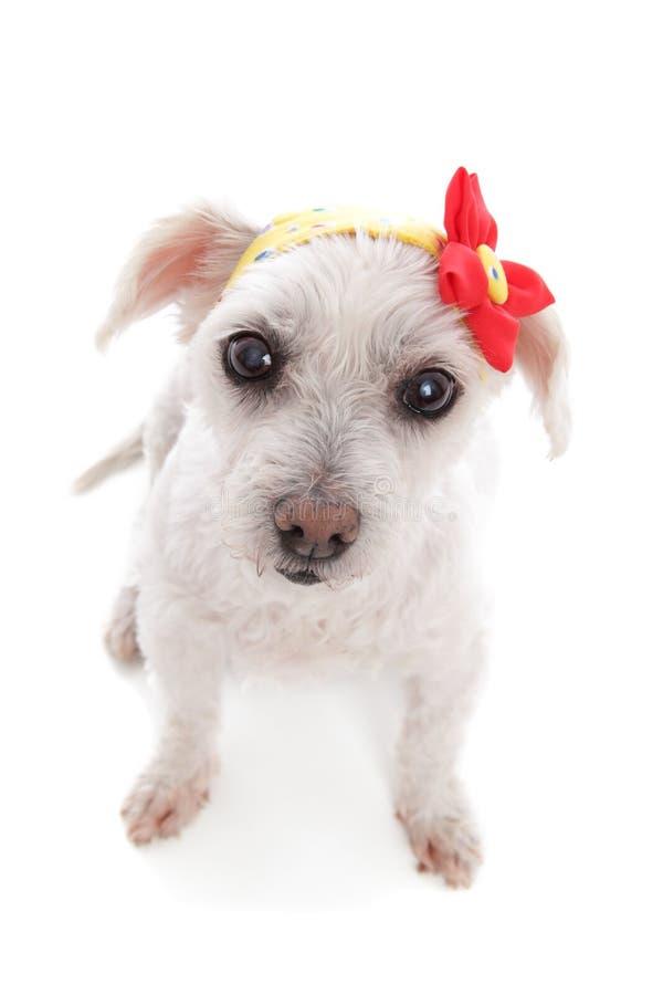 Bandana vestindo do cão branco com decoração da flor imagem de stock
