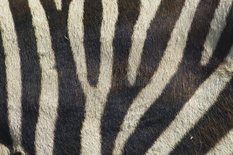 Bande 2 della zebra fotografia stock libera da diritti