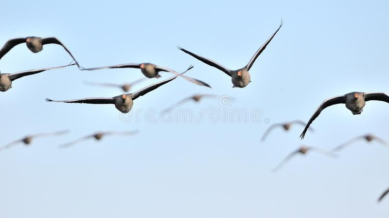 Bande d'oies de graylag en vol image libre de droits