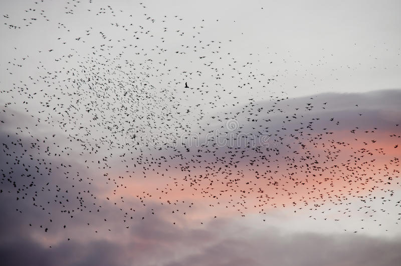 Bande d'oiseaux migrateurs au crépuscule images libres de droits