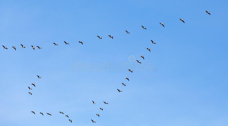 Bande d'oiseaux Oies canadiennes volant en ciel bleu images stock