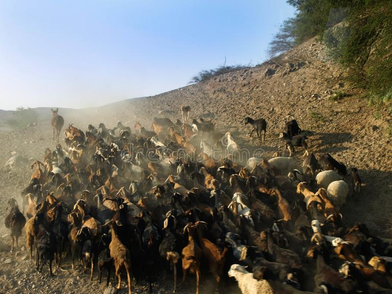 Bande de chèvres images stock