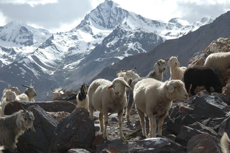 Bande de chèvres et de moutons photos libres de droits