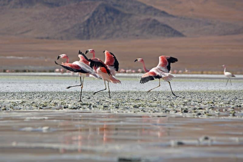bande de flamants de la Bolivie photo stock