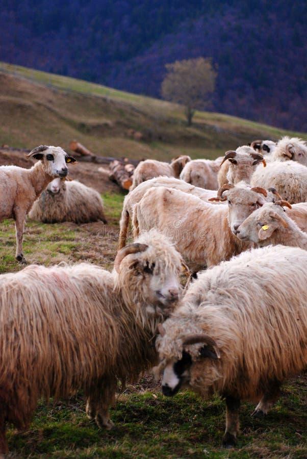 Bande de moutons image stock