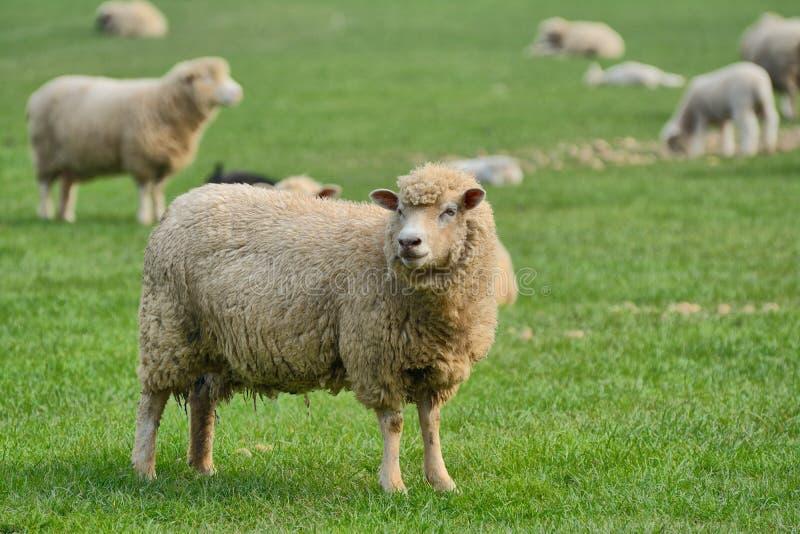 Bande de moutons dans un domaine image libre de droits