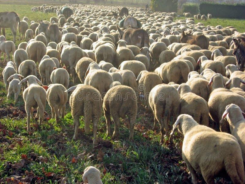 Bande de moutons frôlant sur la pelouse photo stock