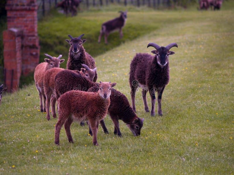 Bande de moutons rares photo stock