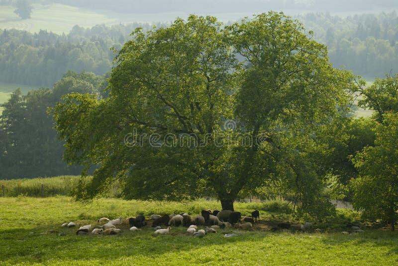 Bande de moutons sous un arbre photos stock