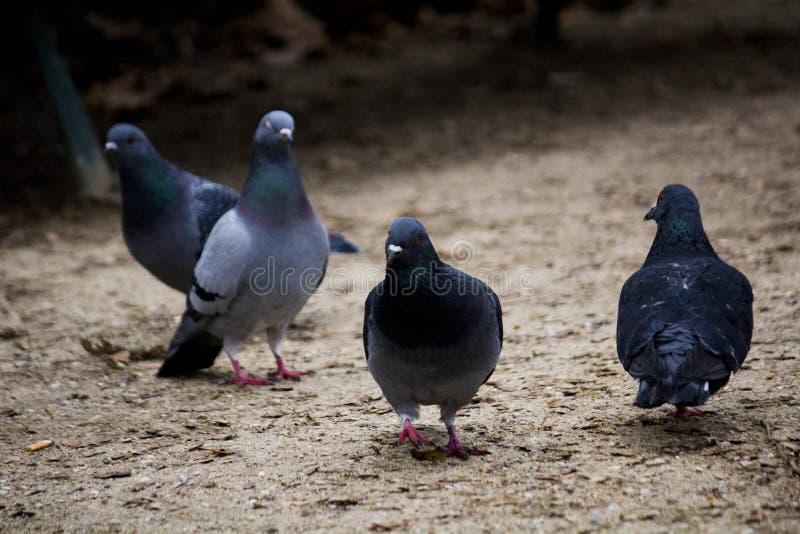 Bande de pigeon dans le monceau Paris de Parc photos libres de droits