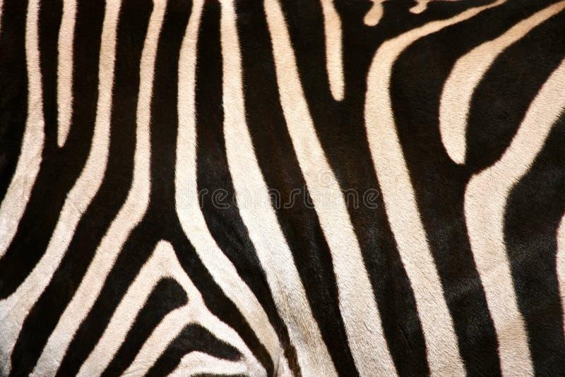 Bande Del Fianco Della Zebra Immagine Stock