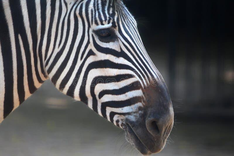 Bande della zebra immagine stock libera da diritti