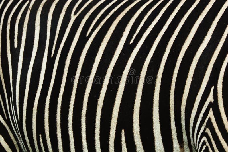 Bande della zebra fotografia stock