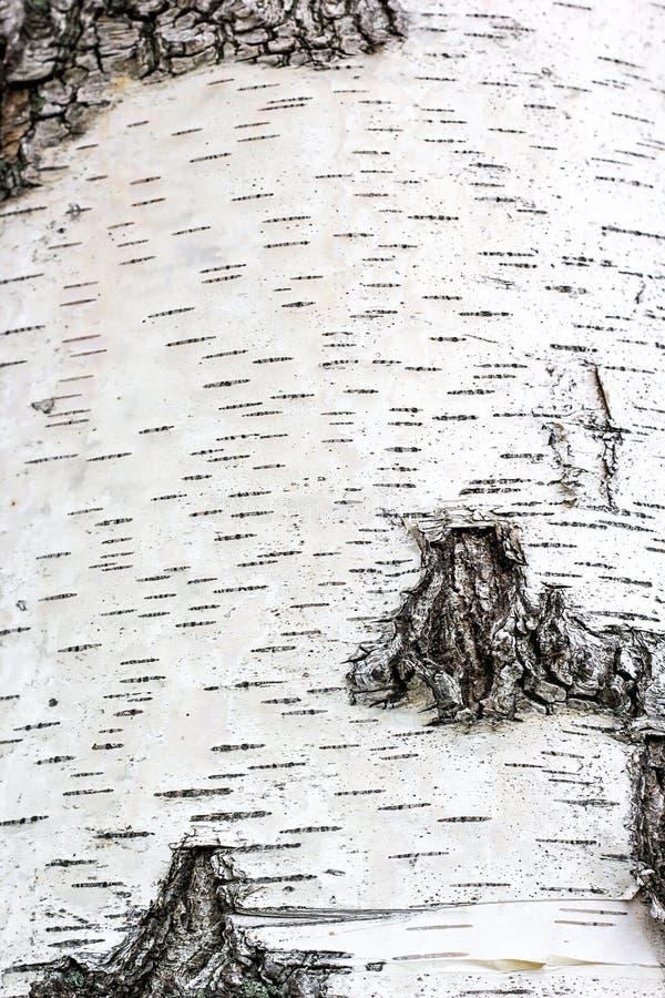 Bande nere, modello della corteccia di betulla, primo piano della carta dello sfondo naturale di struttura della corteccia di bet royalty illustrazione gratis