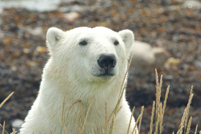 Bandeau de portrait d'ours blanc photos stock
