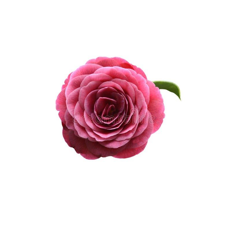 Bandeau rouge de fleur de camélia image stock