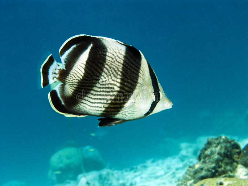 Banded butterflyfish (Chaetodon striatus). Banded butterflyfish,Chaetodon striatus, is Caribbean fish stock photography