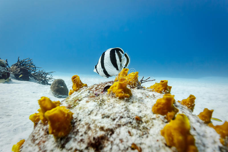 Banded Butterflyfish chaetodon striatus on patch of yellow coral. In Caribbean royalty free stock images