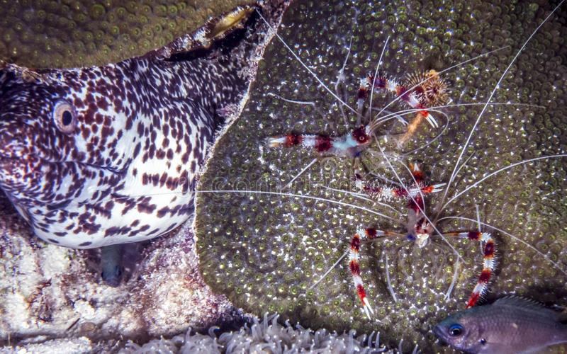 Banded coral shrimp with Moray ell. Stenopus hispidus is a shrimp-like decapod crustacean banded coral shrimp and banded cleaner shrimp with spotted moray royalty free stock images