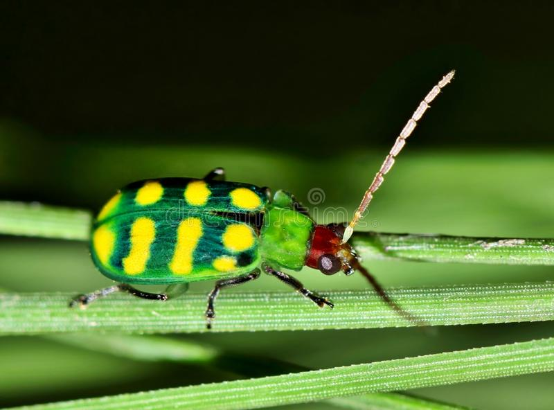 Banded Cucumber beetle in a clump of pine needles. royalty free stock image