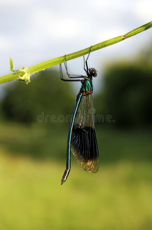 Download Banded damselfly stock image. Image of delicate, insect - 25434367