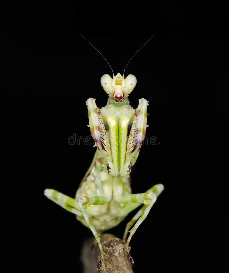 Banded flower mantis royalty free stock images