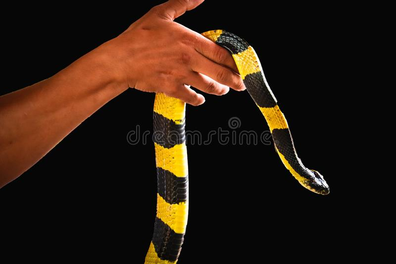 Banded Krait  and hand isolated. On black background royalty free stock image
