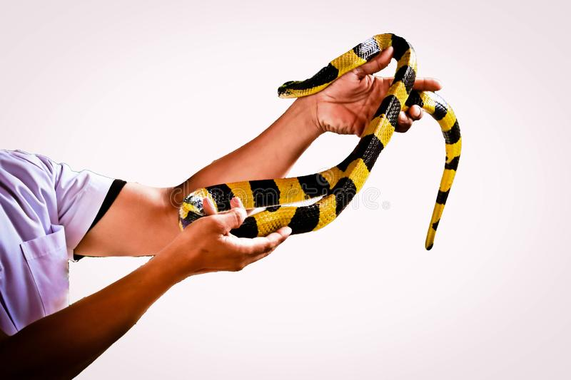 Banded Krait snake isolated. Banded Krait  and hand isolated on white background royalty free stock photos
