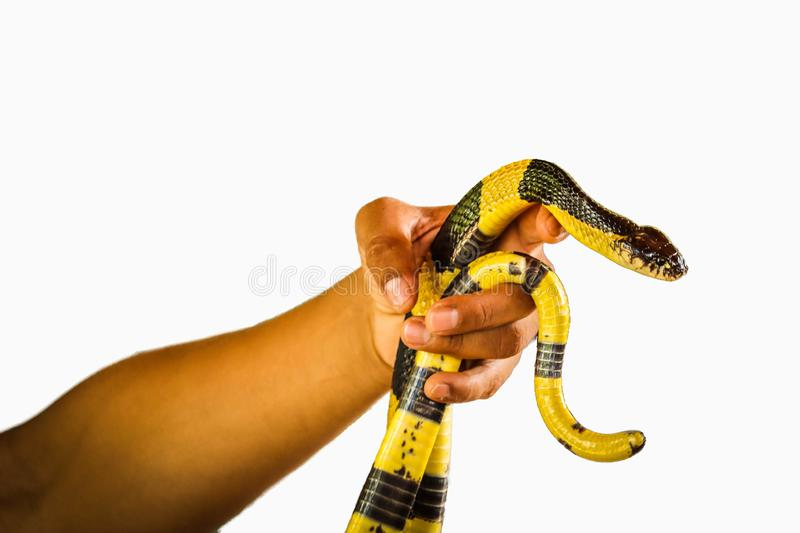 Banded Krait snake isolated. Banded Krait and hand isolated on white background stock images