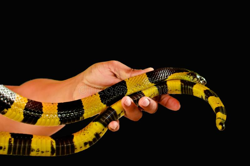 Banded Krait isolated. Banded Krait  and hand isolated on black background royalty free stock photography