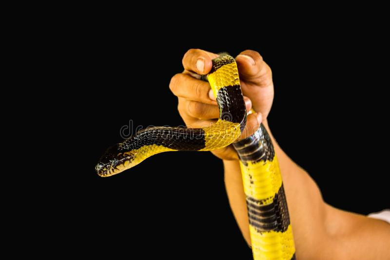 Banded Krait isolated. Banded Krait  and hand isolated on black background royalty free stock image