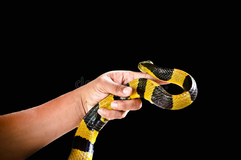 Banded Krait isolated. Banded Krait  and hand isolated on black background stock image