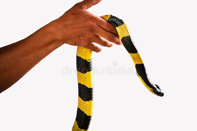 Banded Krait snake isolated. Banded Krait  and hand isolated on white background stock image