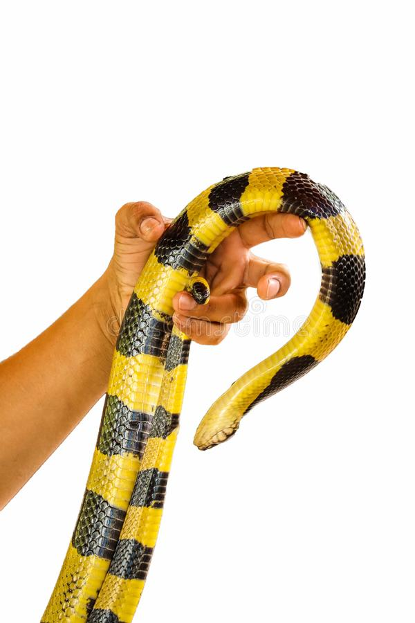 Banded Krait snake isolated. Banded Krait and hand isolated on white background stock photography
