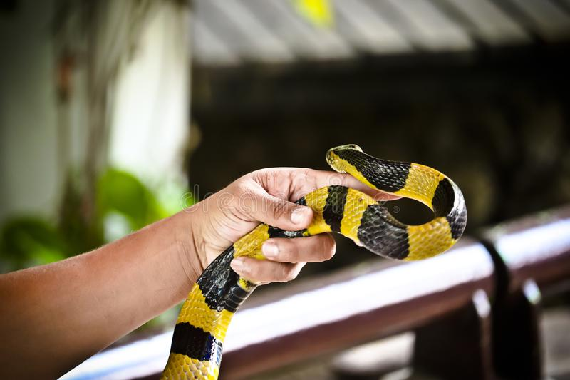Banded Krait snake on a hand. In the zoo thailand animals wild burmese python headshot keeled cobra malayan pit viper mangrove monocled oriental rainbow water royalty free stock photo