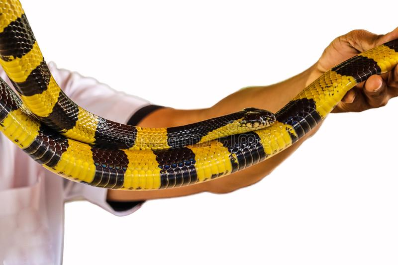 Banded Krait snake isolated. Banded Krait and hand isolated on white background royalty free stock image