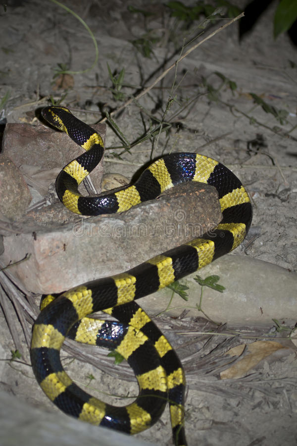 Banded krait snake specie Bungarus fasciatus in Nepal royalty free stock photography