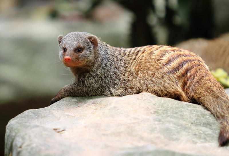 Download Banded Mongoose Royalty Free Stock Photo - Image: 18409895