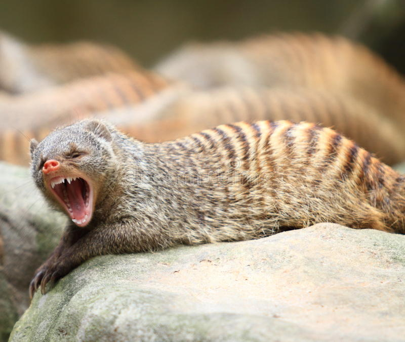 Download Banded Mongoose stock image. Image of conservation, outdoor - 18518233