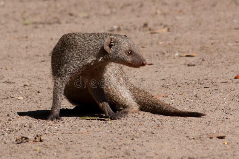 Banded Mongoose. (Mungos mungo), in Botswana stock image