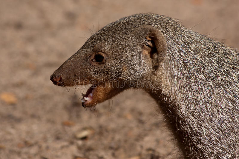 Download Banded Mongoose stock image. Image of african, creature - 26238879