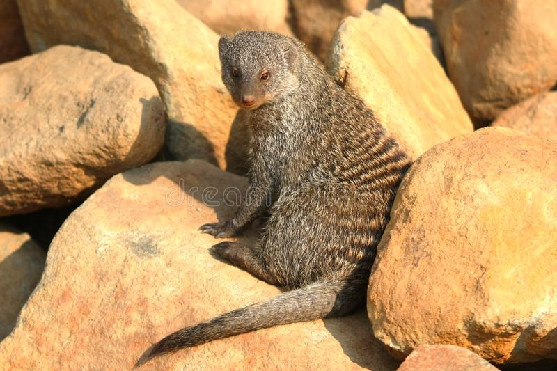Download Banded Mongoose stock photo. Image of sturdy, mongoose - 8426346