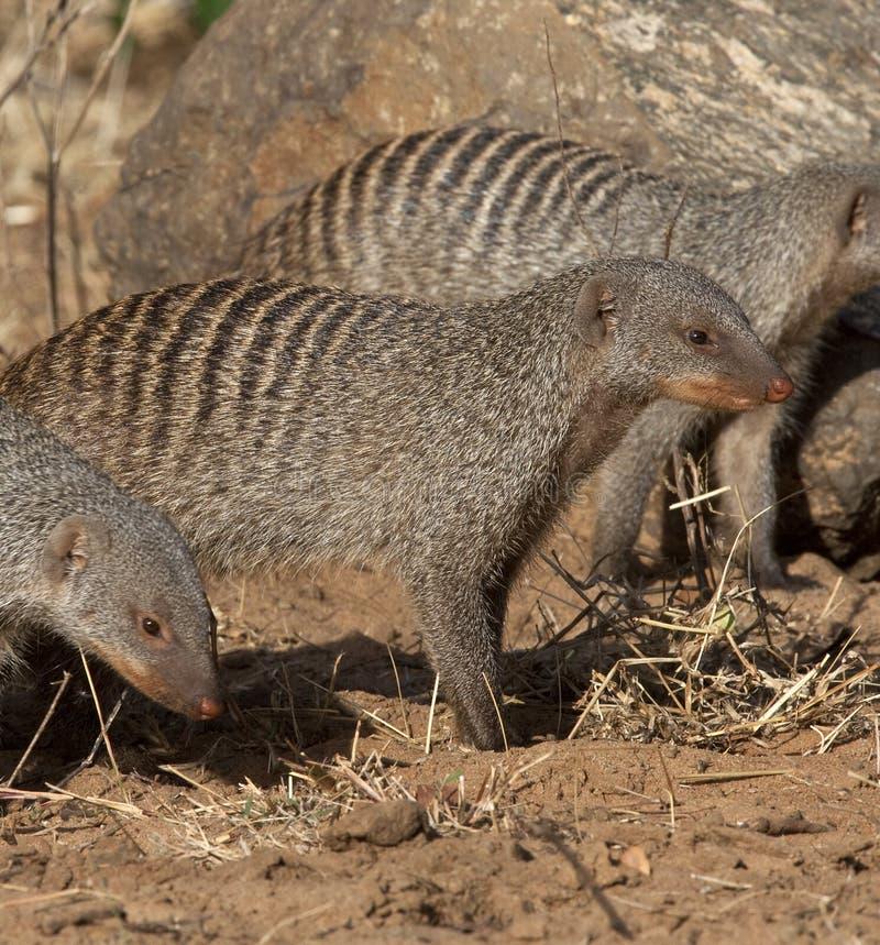Download Banded Mongoose - Botswana stock image. Image of safari - 15392097