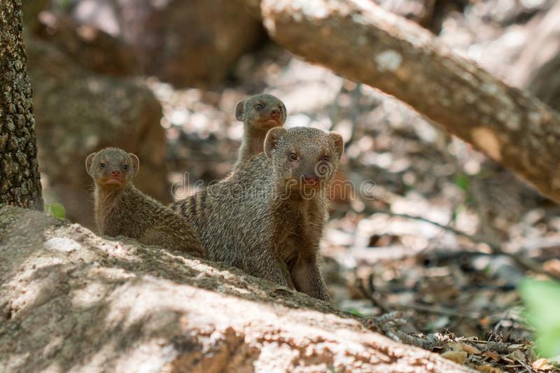 Banded Mongoose family laying down looking at the camera royalty free stock photo
