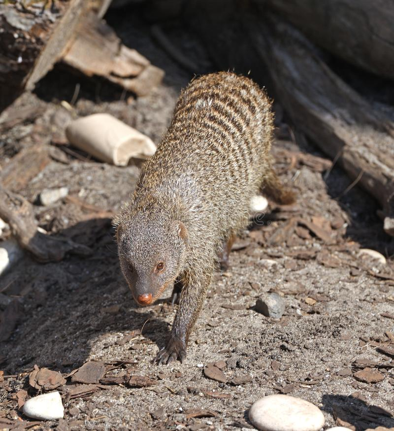 Banded mongoose Mungos mungo is coming. Portrait stock photo