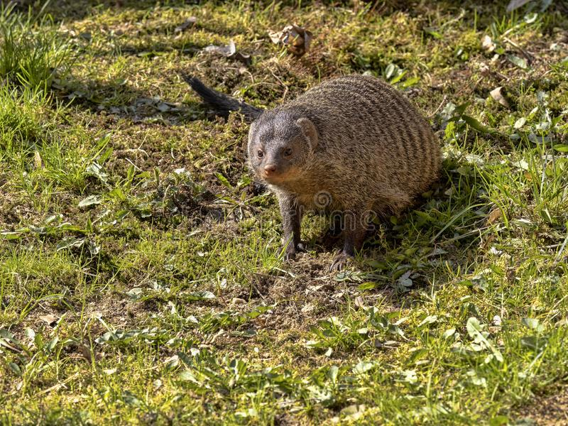 Banded mongoose, Mungos mungo, is a very agile beast. One Banded mongoose, Mungos mungo, is a very agile beast stock photo