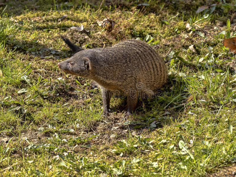Banded mongoose, Mungos mungo, is a very agile beast royalty free stock photography